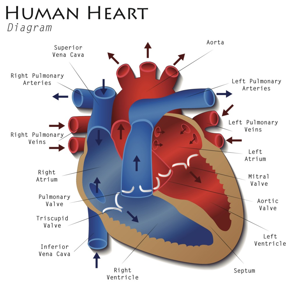 Ductus Arteriosus Diagram Wiring Diagram Database